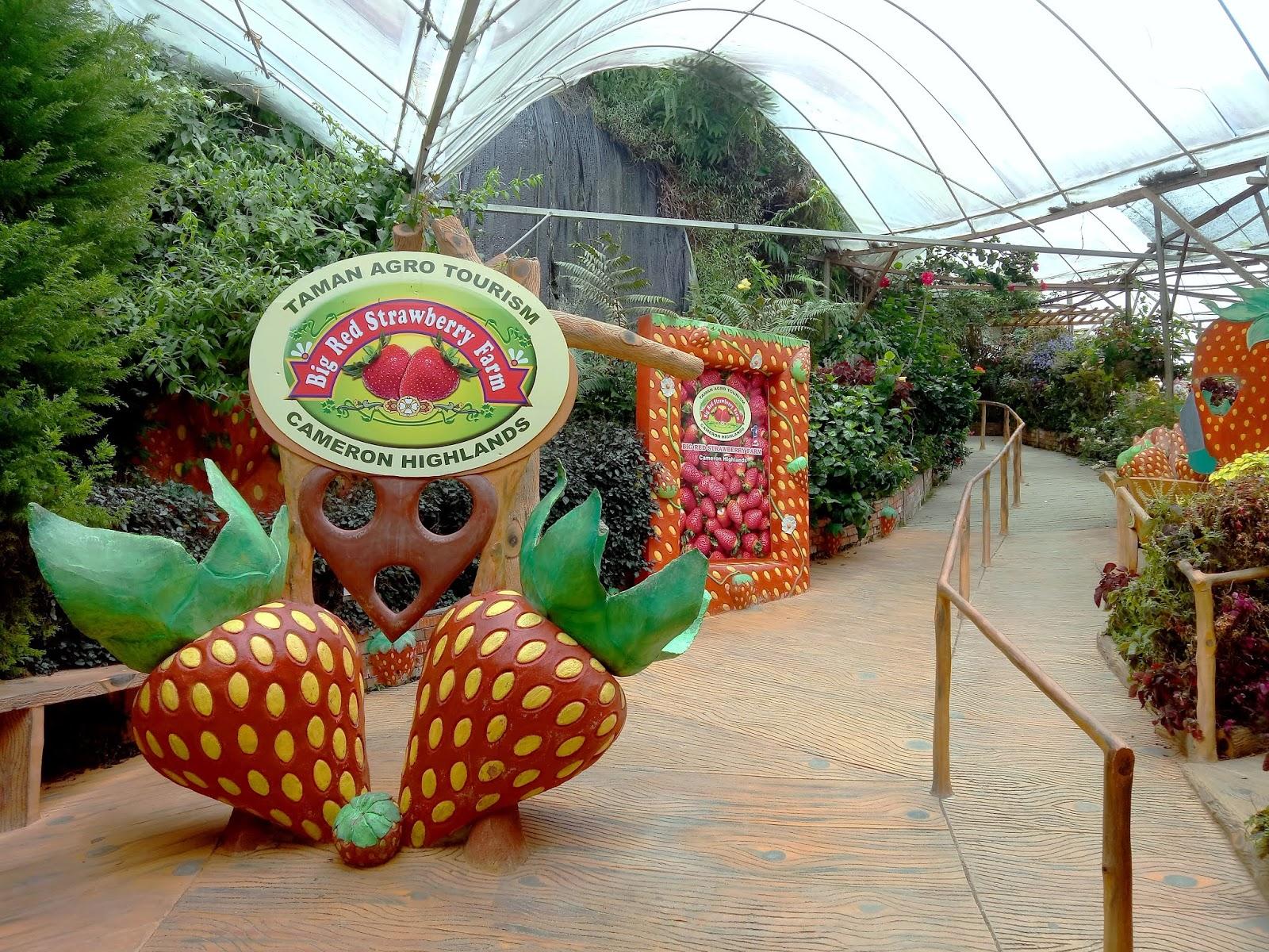 Big-Red-Strawberry-Farm-1